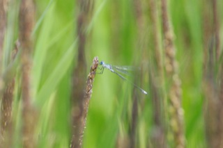 岸たんぼ - 稲穂で羽根を休めるアオイトトンボ