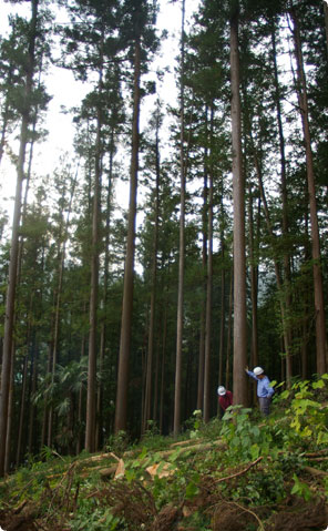 西川杉の伐採を見学しました